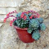 Succulent Echeveria pulidonis. Succulent Echeveria pot plant on the stone wall stock photos
