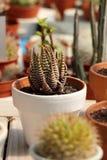 Succulent in een pot royalty-vrije stock afbeelding
