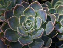 Succulent in een woestijntuin Stock Foto