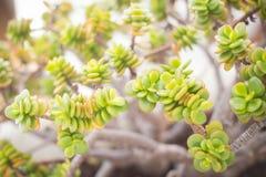 Succulent em um potenciômetro Fotografia de Stock