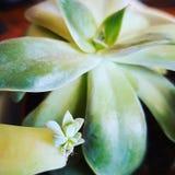Succulent en babys Royalty-vrije Stock Foto's