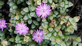 Succulent en bloon Foto de archivo