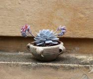 Succulent en un tarro de la terracota Imagen de archivo libre de regalías