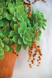 Succulent Excitement. A pot of beautiful green succulent cacti plants on white wall background Royalty Free Stock Photos