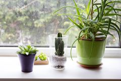 Succulent, exotic plants on the window, close up. Succulent, exotic plants on the window light , close up Royalty Free Stock Photography