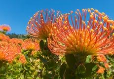 Succulent exotique en fleur images stock