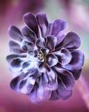 Succulent flower, Aeonium Zwartkop. Stock Photos