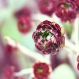 Succulent flower, Aeonium Zwartkop. Stock Image