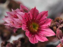 Succulent flower Hen and Chicks. Close up of deep pink flowers on Hens and Chicks succulent garden plant stock image