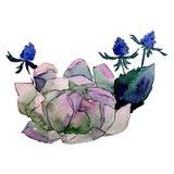 Succulent flower. Isolated flower illustration element. Background set. Watercolour drawing aquarelle bouquet. Succulent flower. Floral botanical flower stock illustration