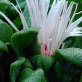 Succulent Royalty Free Stock Photos