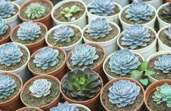 Succulent flowerbeds plant in the garden. Stock Images