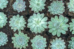Succulent flowerbeds plant in the garden. Royalty Free Stock Images