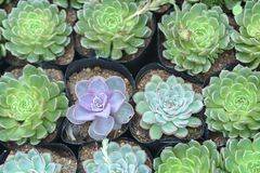 Succulent flowerbeds plant in the garden. Stock Photos
