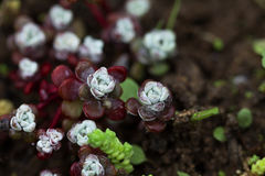 Succulent flowers  close up after rain Royalty Free Stock Photo
