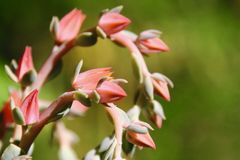 Succulent flowers spiral in a garden. Flowers on a succulent plant spiral in a garden. The flowers are pink and light green, and are in focus with a blurry stock photo