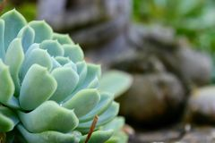 Succulent in a garden. Succulent plant in a garden. The plant is in focus with a blurry background. There is a buddha statue in the background Royalty Free Stock Photography