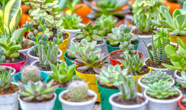 Succulent Garden With Potted Cactus Royalty Free Stock Image