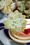 Succulent in a glazed pot royalty free stock images