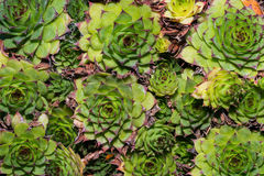 Succulent Royalty Free Stock Photos