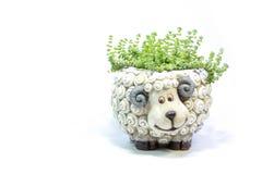 Green plants Crassula succulent on a white background stock photo