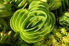 Succulent. With green symmtetrical design Stock Image