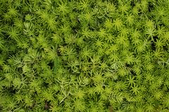 Succulent ground cover plant, abstract greenery textures backgro Stock Image