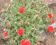 Succulent groundcover with red flowers. In garden stock photos