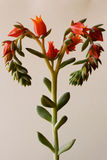 Succulent Hart Royalty-vrije Stock Foto's