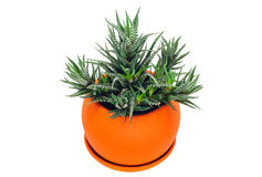 Succulent : Haworthia fasciata variegata in the orange pot. Isolated on a white background Royalty Free Stock Image