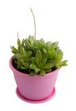 Succulent-haworthia. On white background isolate Stock Images