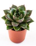 Succulent houseplant Στοκ φωτογραφία με δικαίωμα ελεύθερης χρήσης