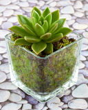 Succulent houseplant Stock Images