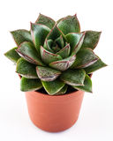 Succulent houseplant Royalty Free Stock Photography
