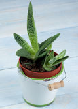 Succulent Houseplant Gasteria Royalty Free Stock Image