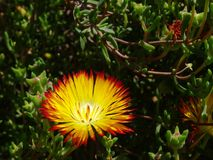 Succulent with its yellow flower with red rim Royalty Free Stock Photo