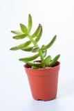 Succulent: kalanchoe blossfeldiana Royalty-vrije Stock Afbeeldingen