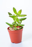 Succulent: kalanchoe blossfeldiana Stock Photos