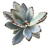 Succulent Kalanchoe Tomentosa стоковое фото