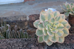 Succulent Royalty Free Stock Photography