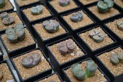 Succulent lithops Στοκ φωτογραφία με δικαίωμα ελεύθερης χρήσης