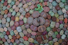 Succulent lithops. Group succulent lithops pattern background stock images
