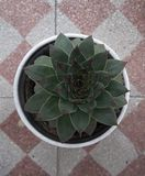 Succulent. Lovely succulent in a white pot royalty free stock photos