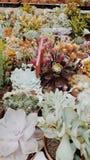 Succulent market. Succulents market plants Stock Image
