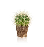 Succulent,Melocactus is unpotted and it shows the fibrous root.I Royalty Free Stock Photos