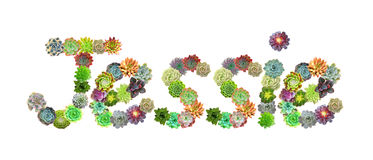 Succulent Name Jessie Royalty Free Stock Photography