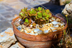 Succulent in old clay pot. Rethymno, Crete, Greece Stock Image