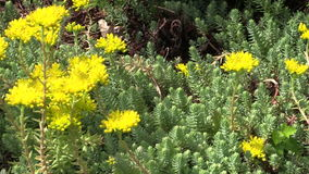 Succulent orpin (lot.Sedum) with yellow blossom. Exotic plant Stock Photos