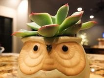 Succulent in owl pot. A succulent plant in a pot in the shape of an owl stock photo
