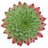 Succulent Patroon Royalty-vrije Stock Foto